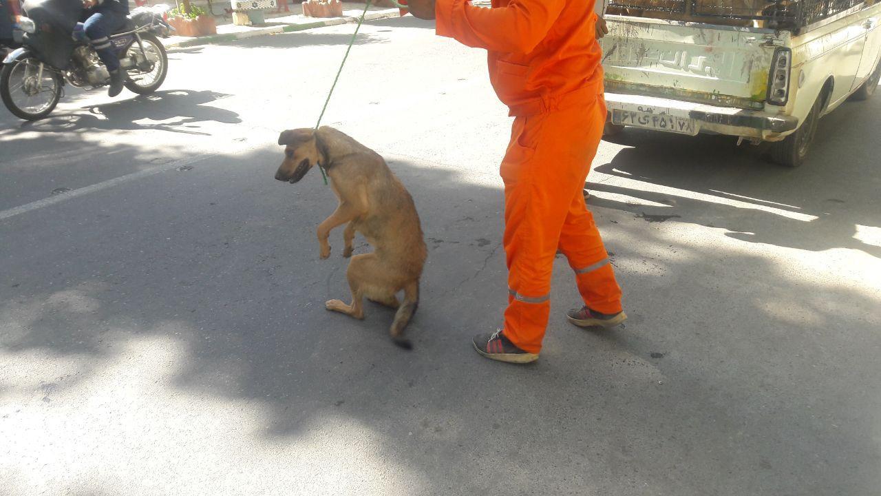 آغاز مرحله جدید طرح جمع آوری سگ های بلاصاحب در سطح شهر